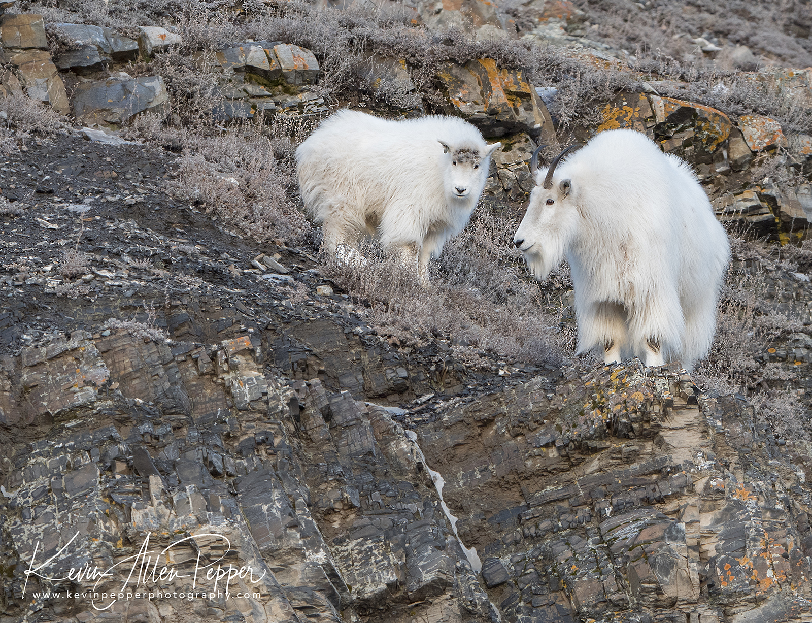 mother and baby mountain goat_g9.jpg
