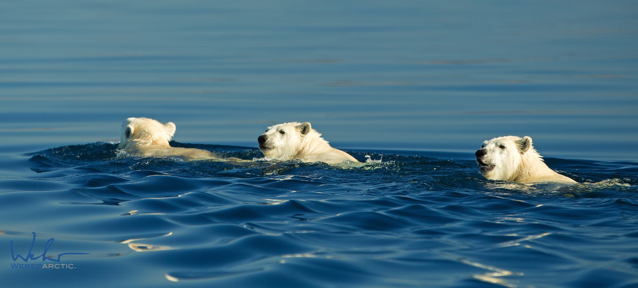 Mother and cubs swimming.jpg