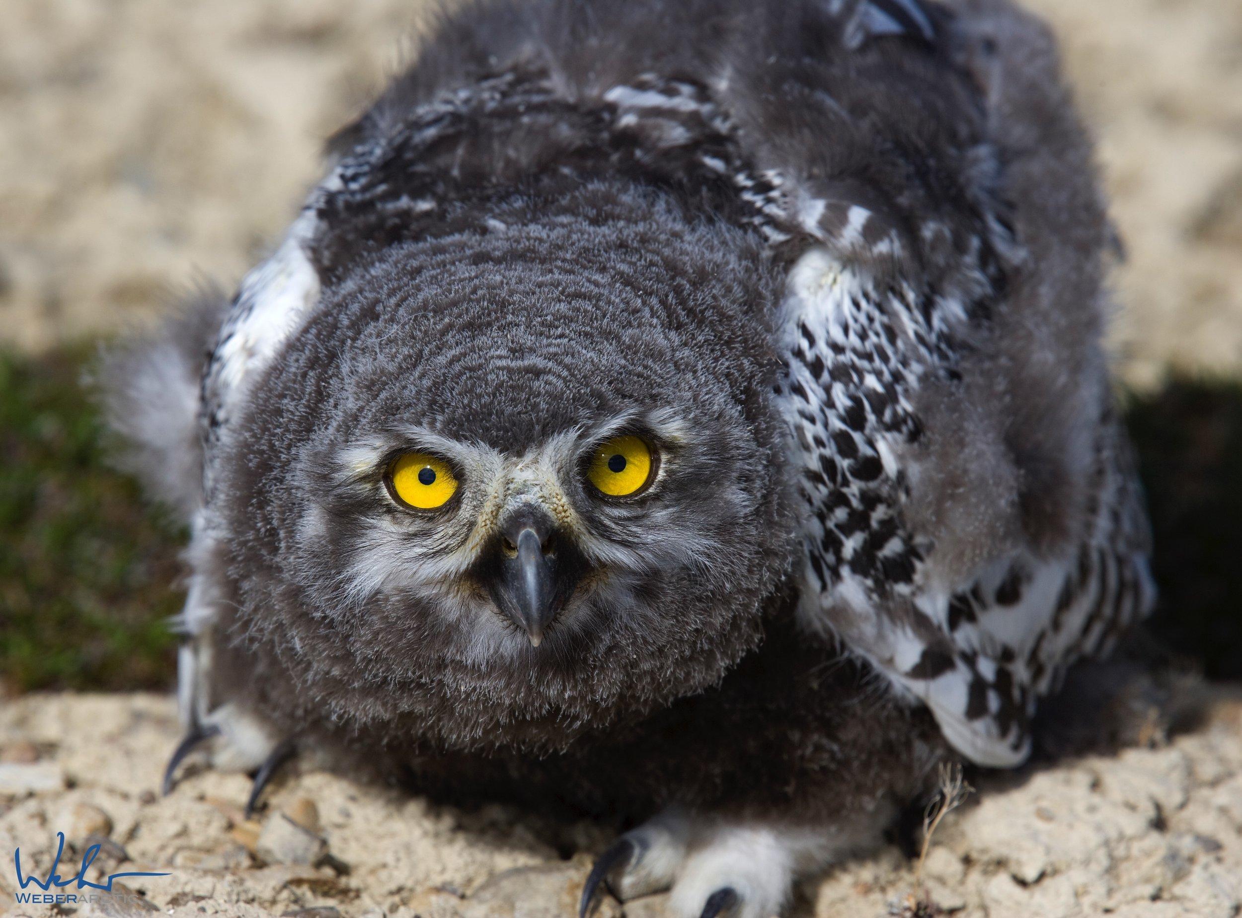 Juvenile snowy owl chick .jpg