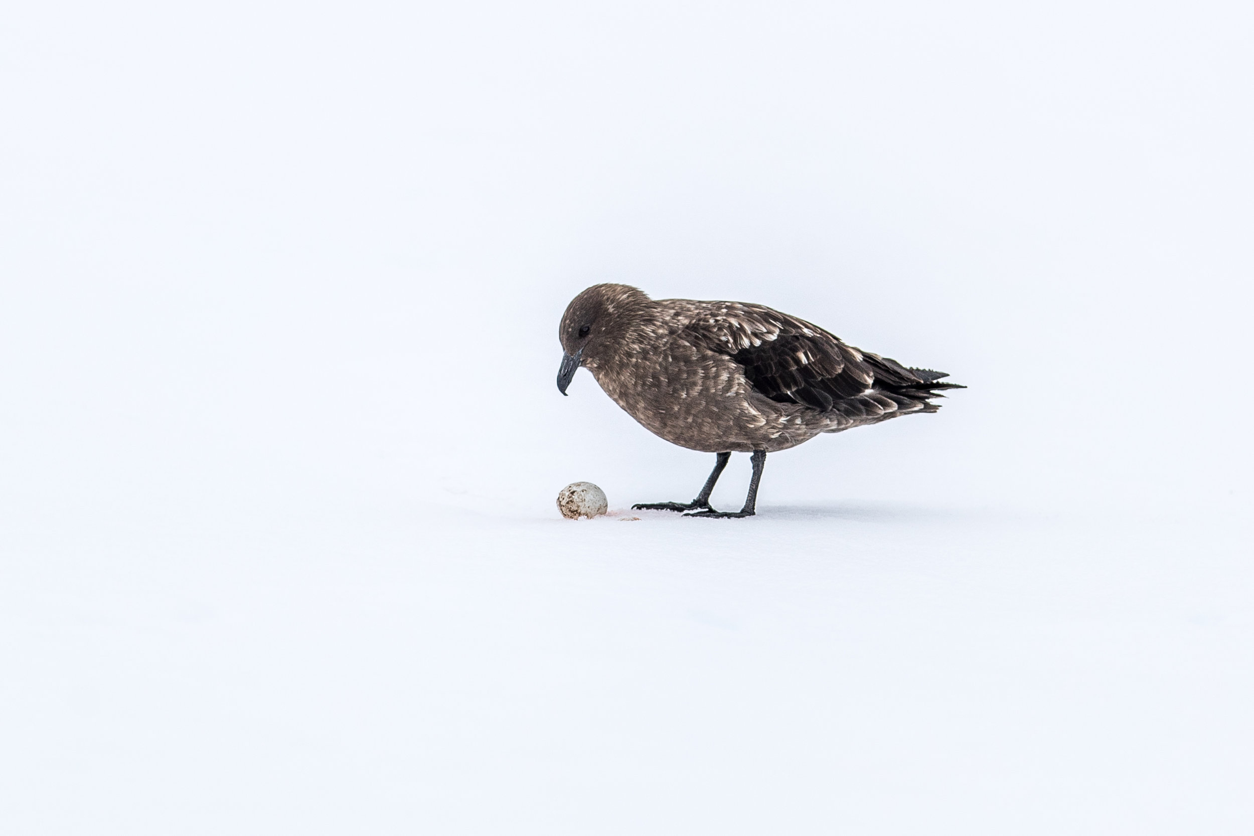 Skua with Penguin Egg