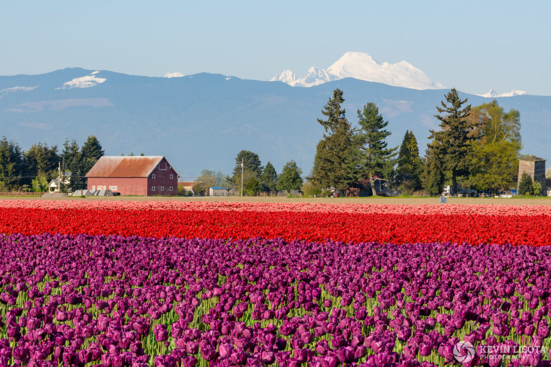 Focus stack of 8 images of the Skagit Valley tulip fields and Mt. Baker. Nikon D850, 160mm, 1/160 sec, f/8, ISO 64