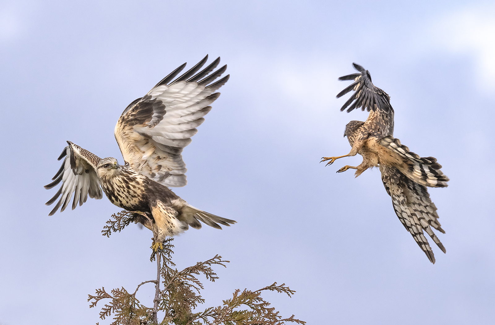 rough legged hawk and northern harrier.jpg