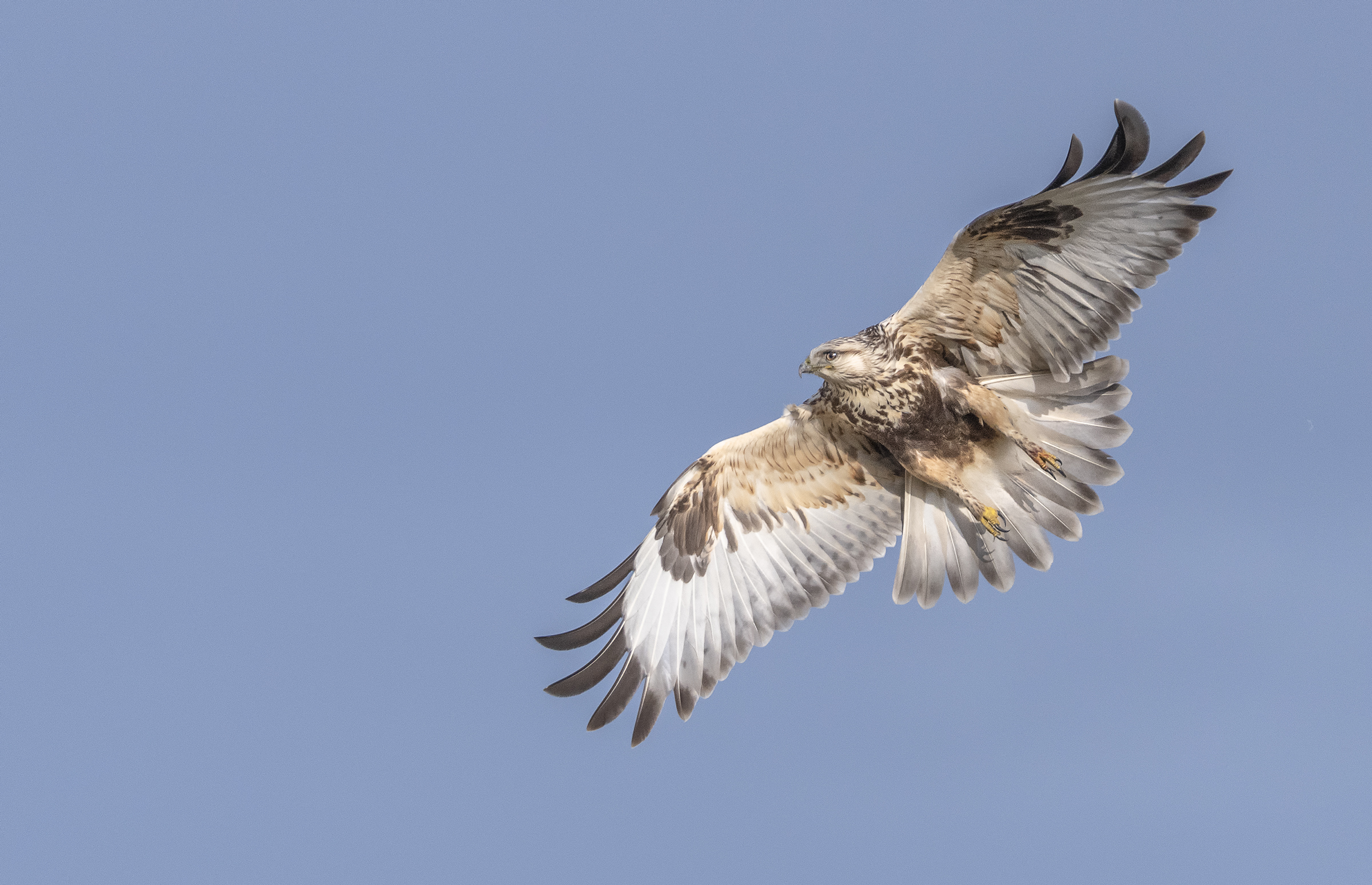 rough legged hawk in flight (1).jpg