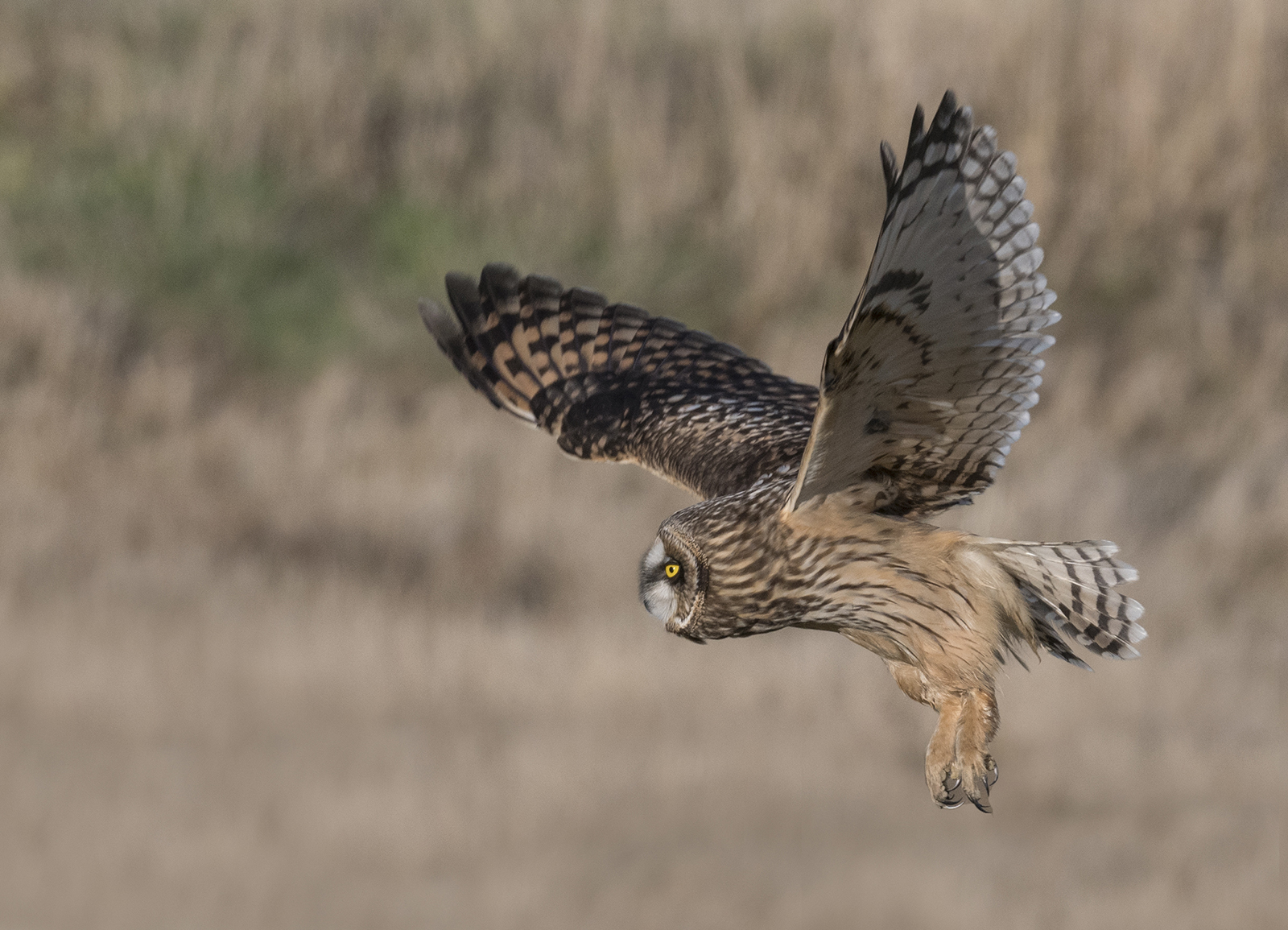 short eared owl hunting.jpg