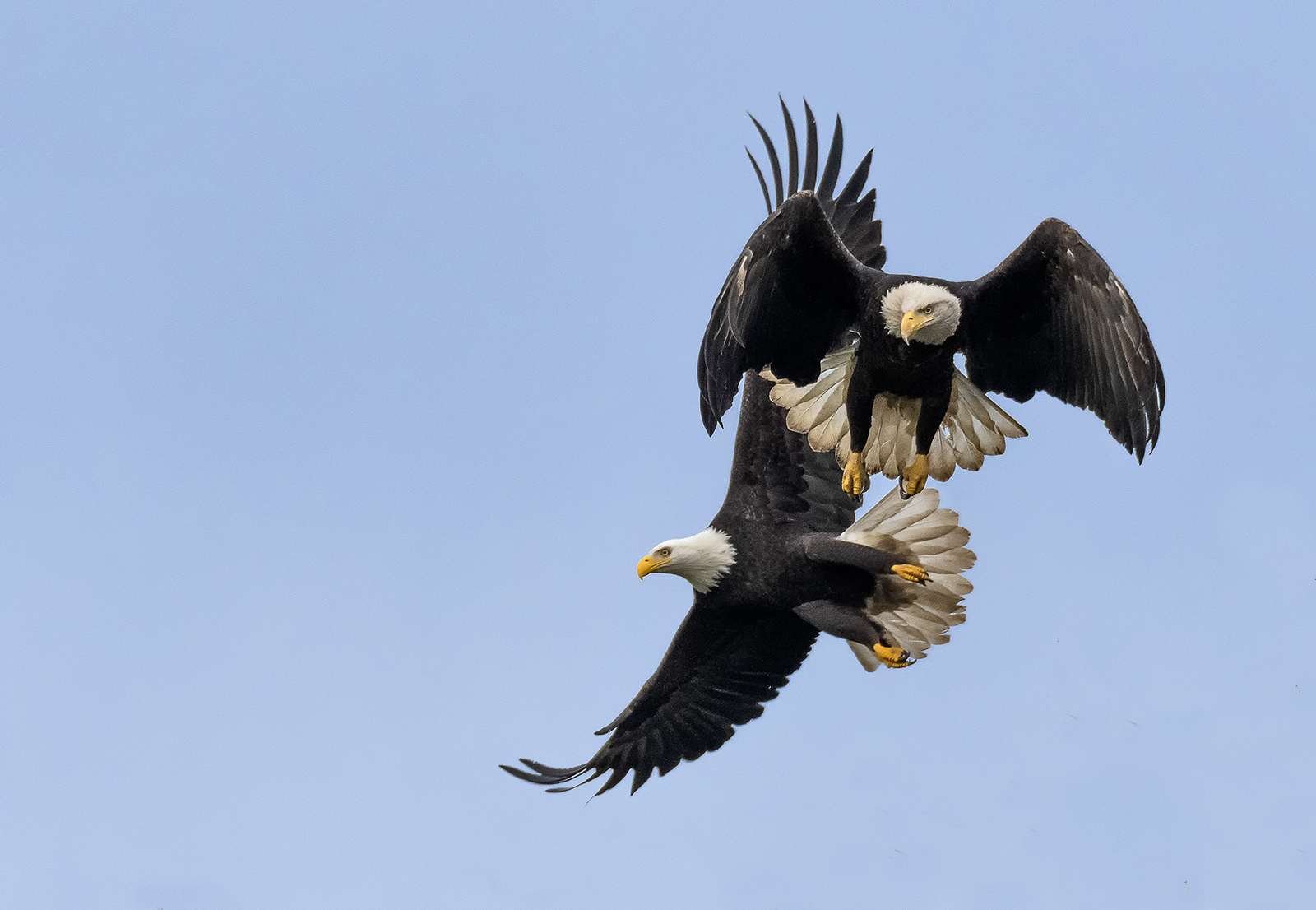 two eagles in flight.jpg