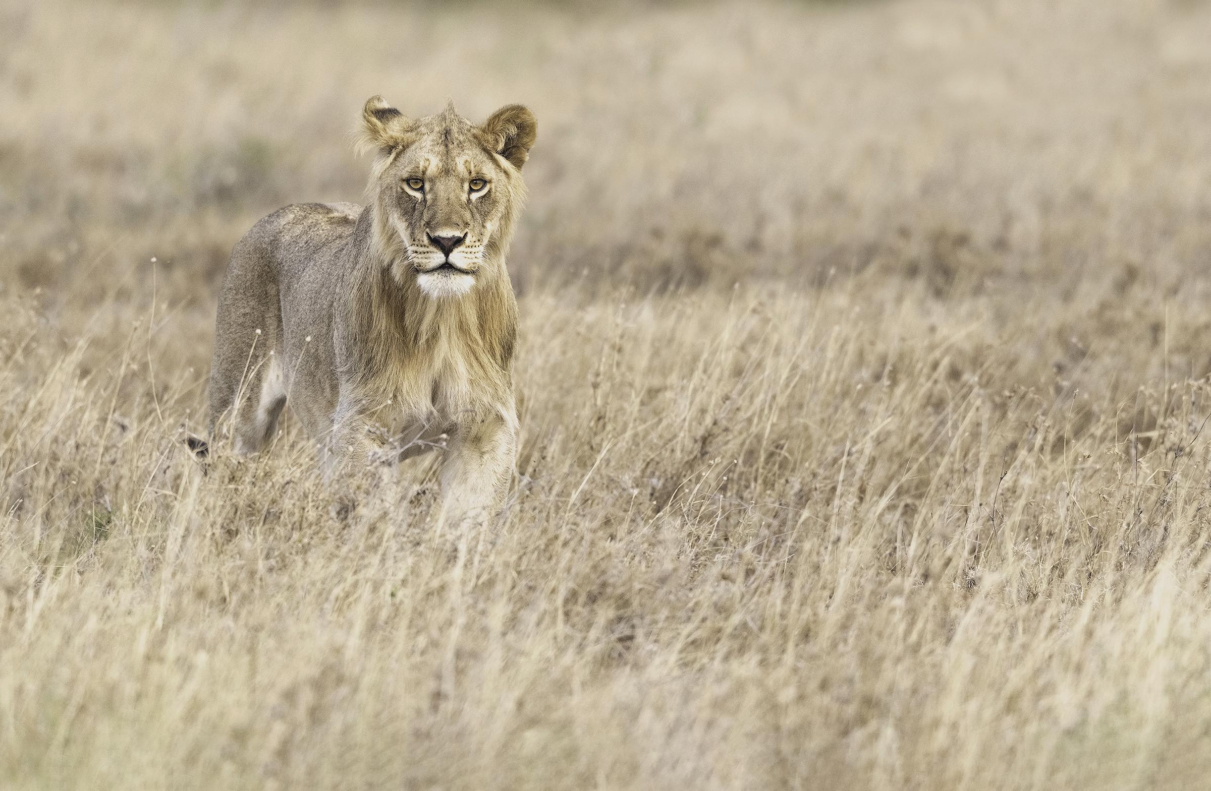 young make lion.jpg