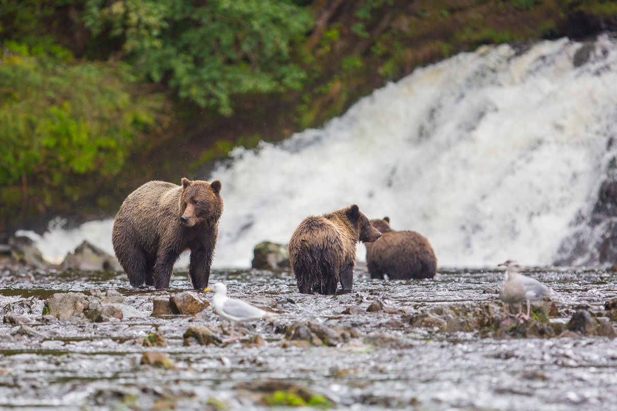 muench-workshops-alaska-bears.jpg