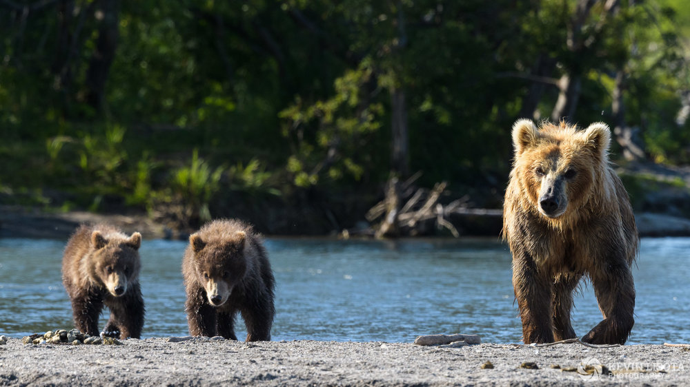 Aperture of f/9 not sufficient to have bear cub on the far left in focus. Nikon D850, f/9, 500 mm, subject distance 50 m, DoF 5 m
