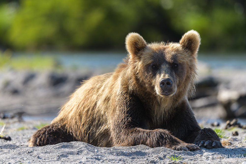 At f/5.6, only the head of the bear is in focus, and the busy background is nicely blurred. Nikon D850, f/5.6, 500 mm, subject distance 20 m, DoF 50 cm
