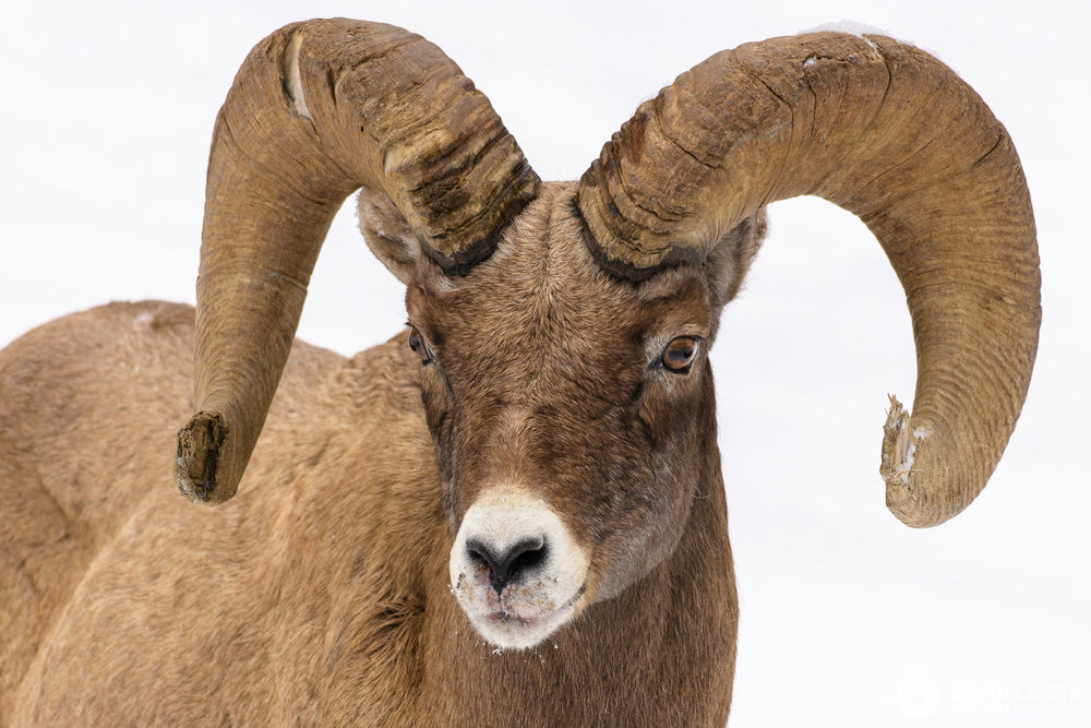 Aperture of f/7.1 used to get the snout and horns of the ram in focus. Nikon D850, f/7.1, 500mm, subject distance 15 m, DoF 37 cm