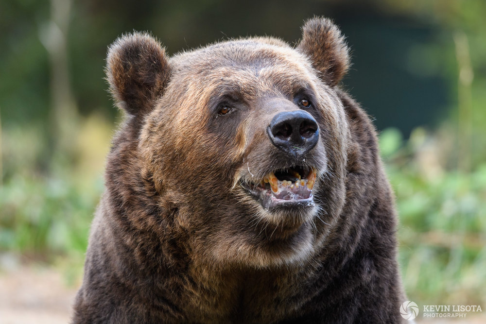 At f/5.6, the bear's eyes and face are in focus, but the snout is not. Nikon D5, f/5.6, 500mm, subject distance 13 m, DoF 22 cm