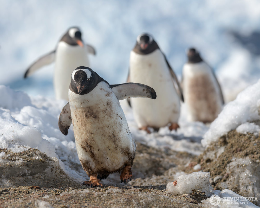 Penguins in the back intentionally blurred using aperture of f/5.6. Nikon D850, f/5.6, 260mm, subject distance 8m, DoF 83 cm