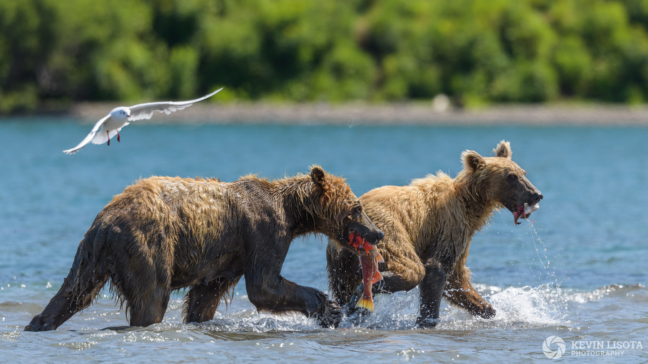 Aperture of f/6.3 to account for the staggered depth of the bears. The gull is not sharp at this aperture. Nikon D850, f/6.3, 500 mm, subject distance 50 m, DoF 3.8 m