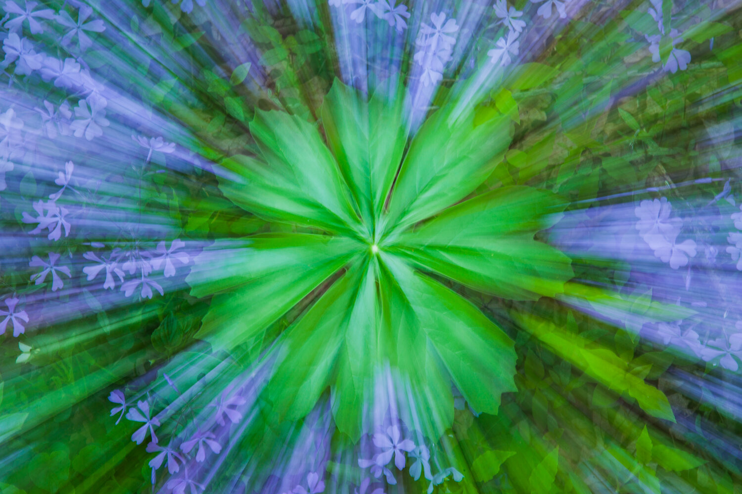 Zoom blur of mayapple and blue phlox, White Oak Sink, Great Smoky Mountains National Park, Tennessee