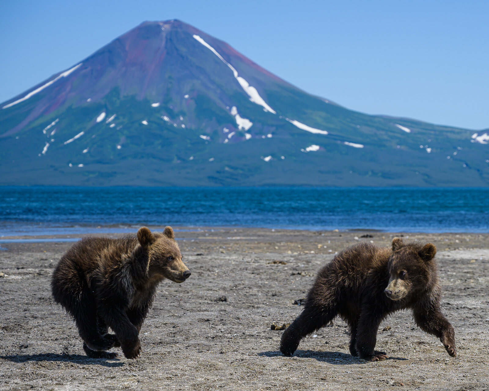 Brown bear cubs in front of Ilyinsky volcano at Kurile Lake in K