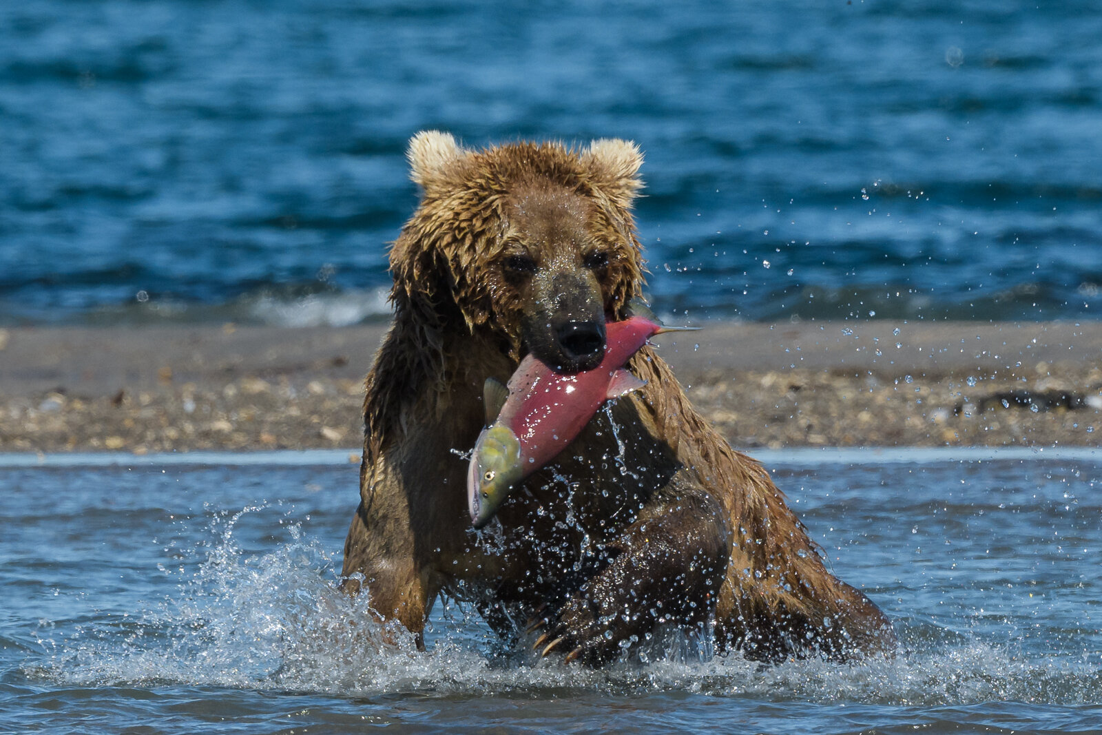 Brown bear catches sockeye salmon at Kurile Lake in Kamchatka, R