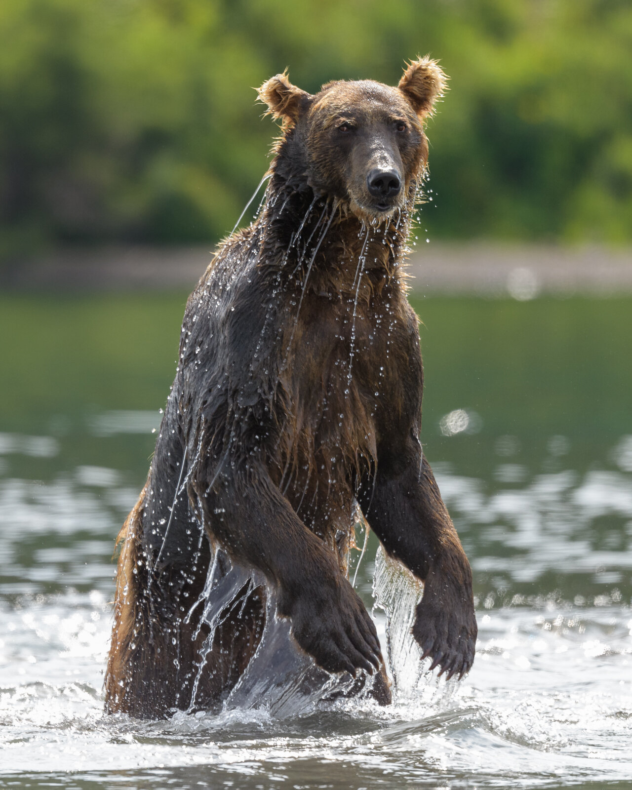 Brown bear rises on its hind legs to search for fish in Kurile L
