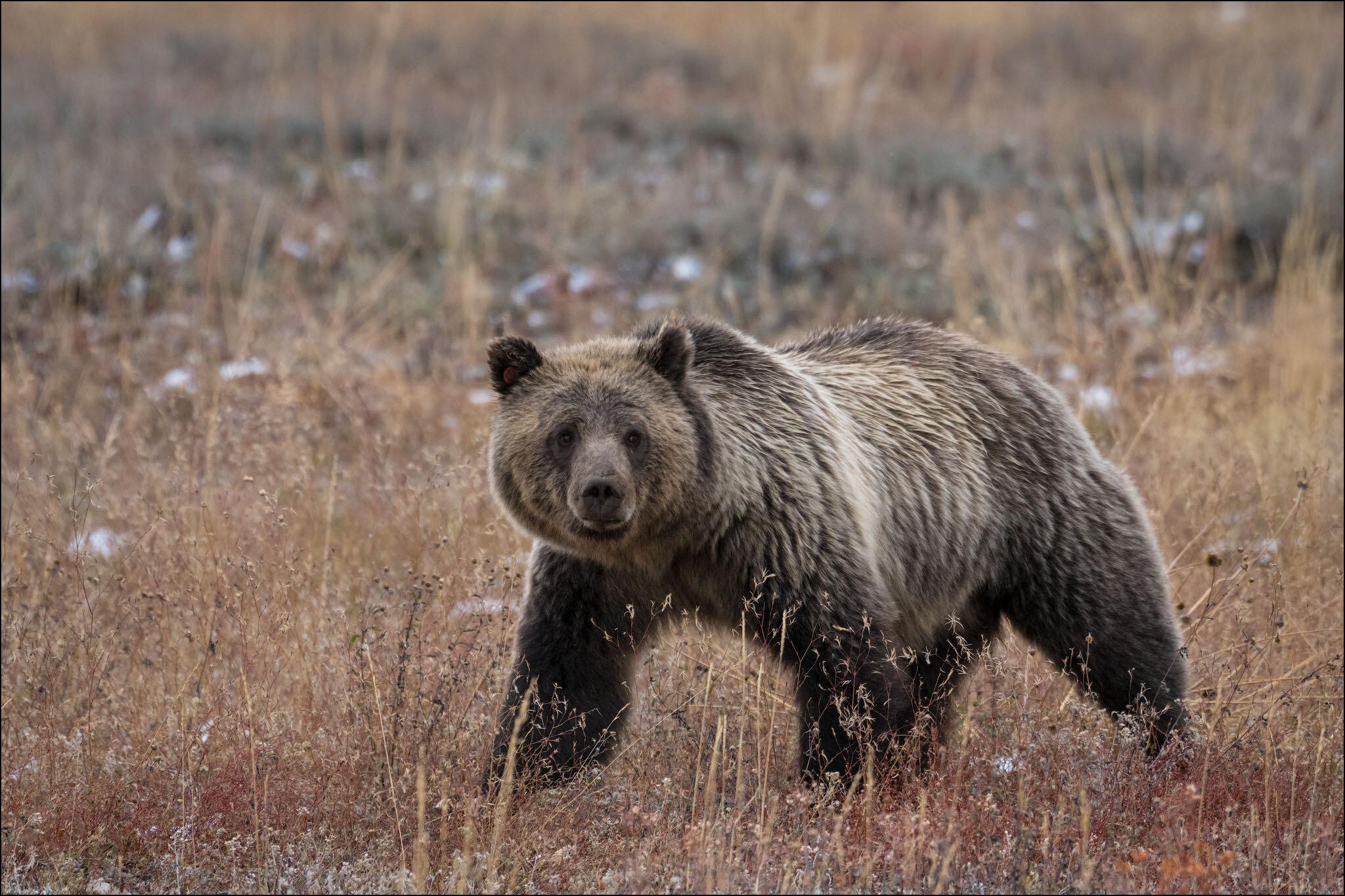 Grizzly bear (female) near Pebble Creek in Grand Teton National Park, Wyoming, USA.