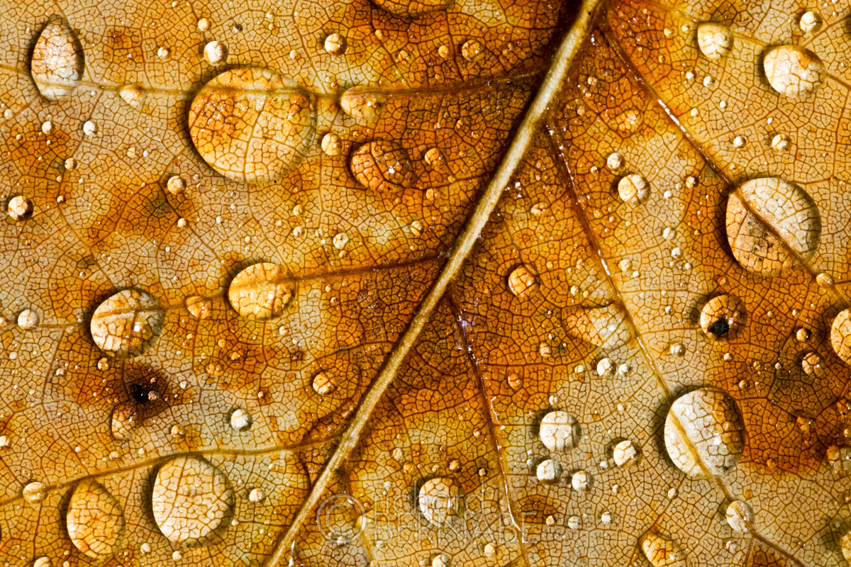 Water droplets of the fallen leaf of a poplar tree, Grandfather Mountain, Blue Ridge Parkway, North Carolina