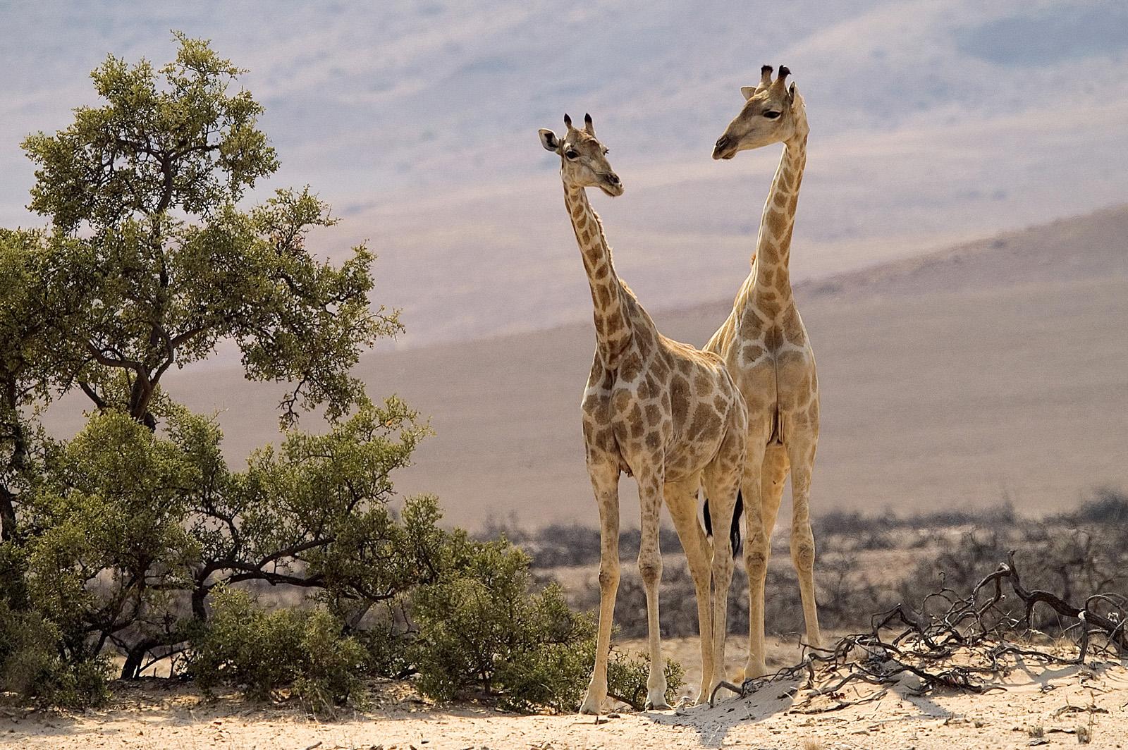 Desert-adapted giraffes