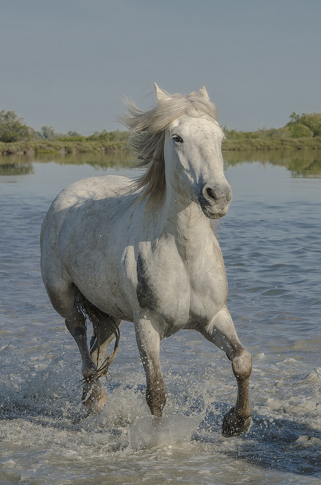 single camargue stallion.jpg