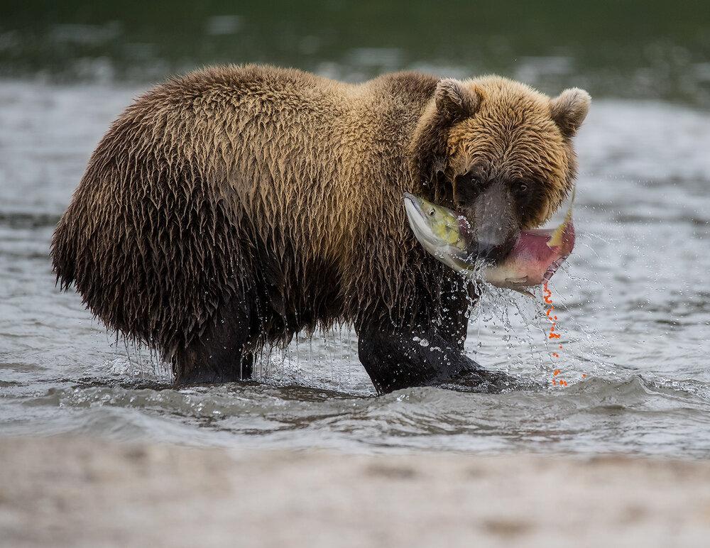 Bears6I7835ForWeb.jpg