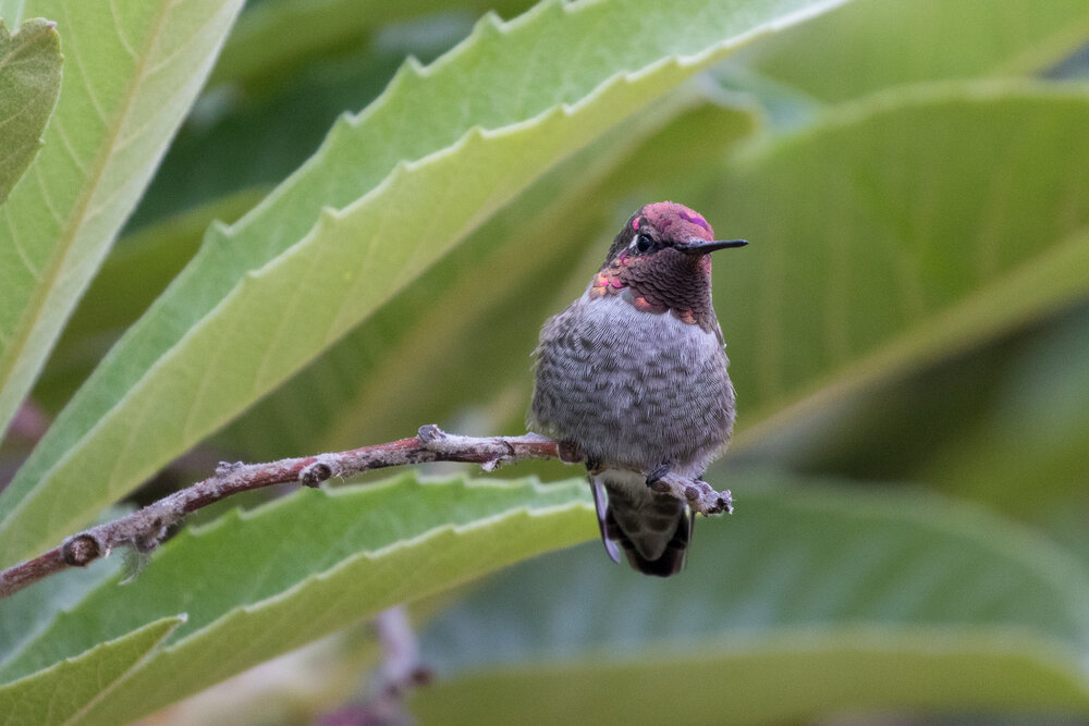 Hummingbirds tend to be pretty fearless, and often allow a relatively close approach. Visit parks or botanical gardens with spring flowers, or set up a feeder in your backyard.