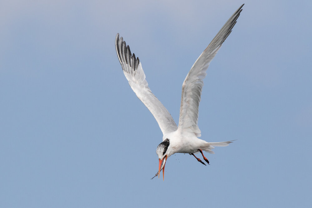 Capturing sharply focused birds in flight takes practice, but the right settings can help.