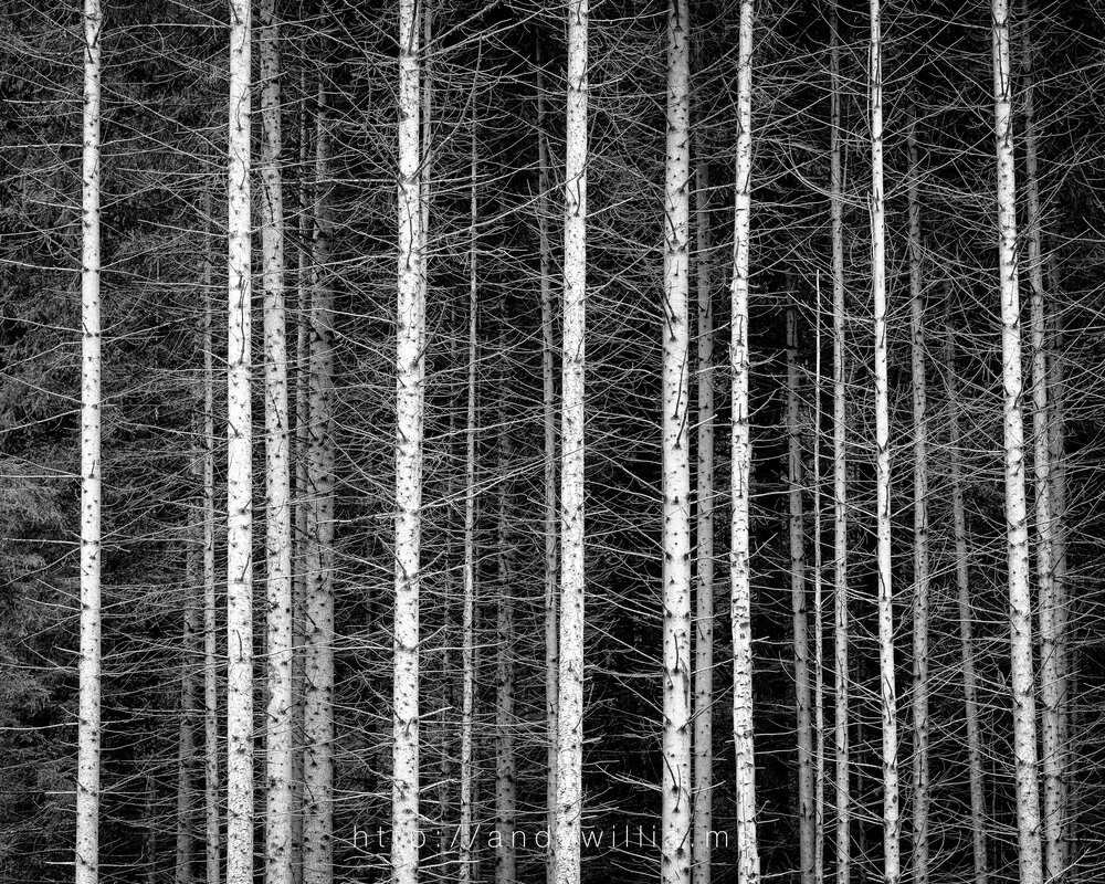 Stand of trees in Italy's Dolomites, after conversion to black and white.
