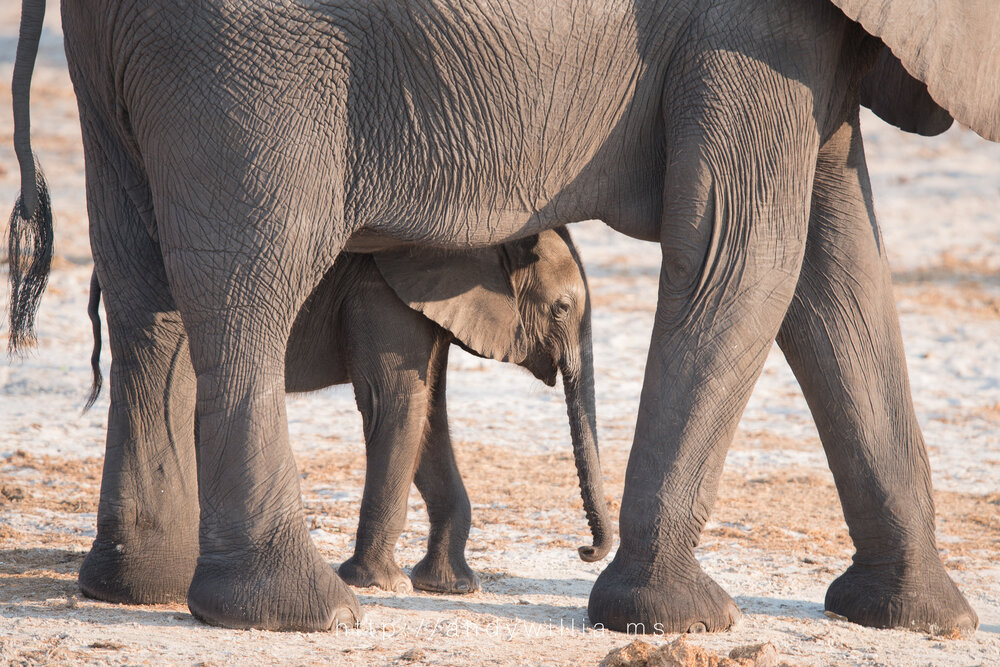 Mother elephant and calf.