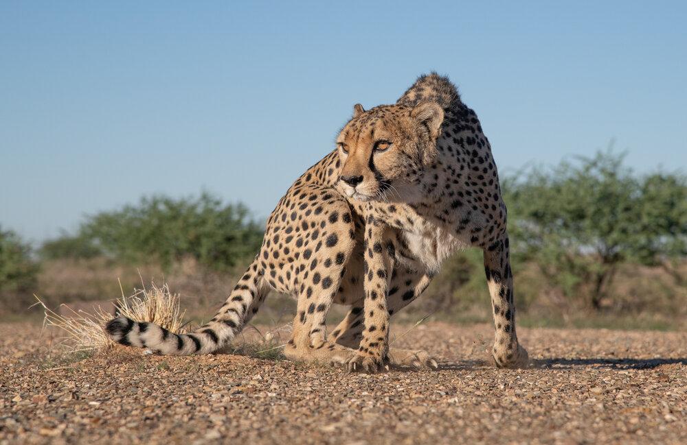 low angle cheetah-Edit.jpg
