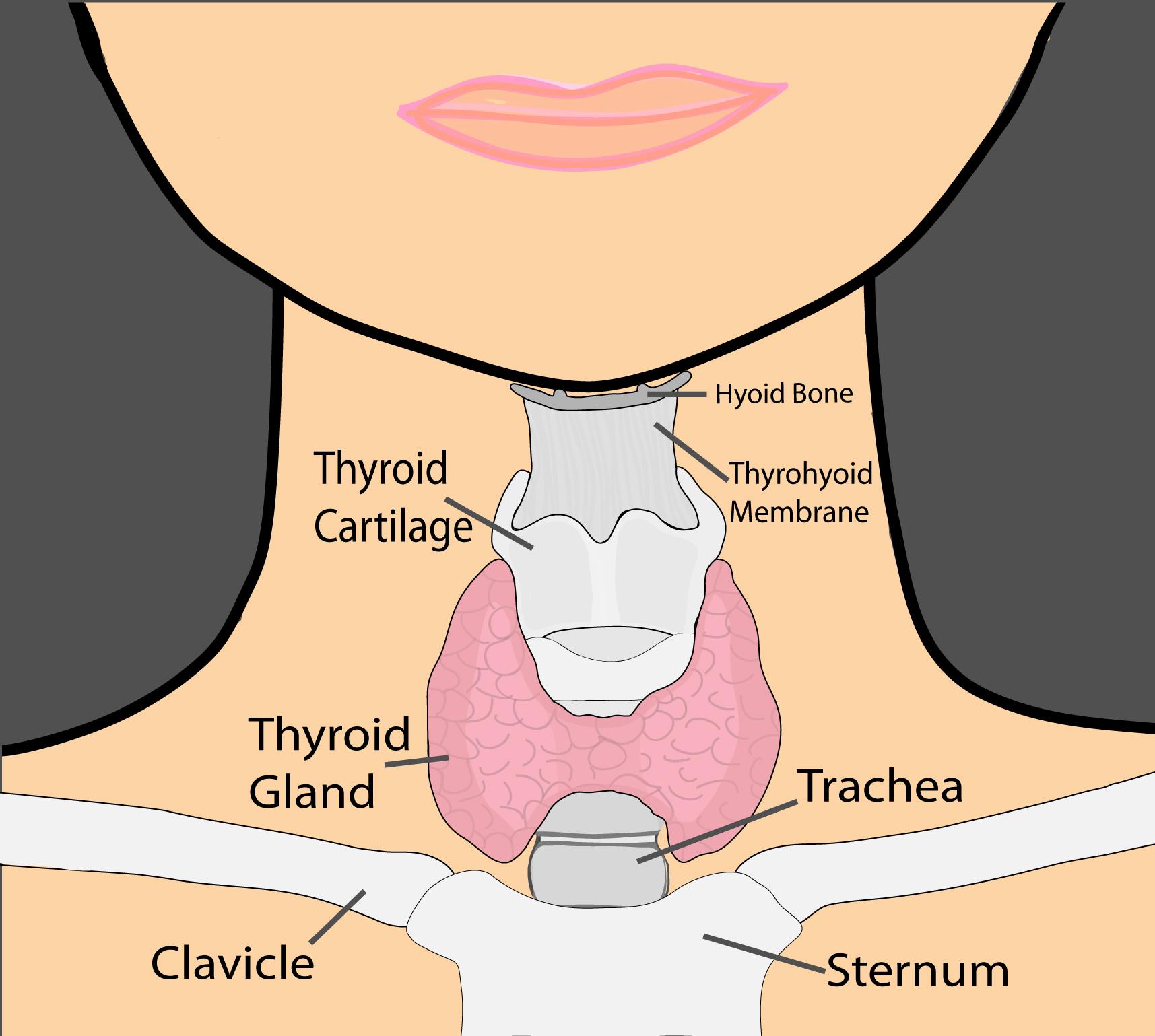 Thyroid Ymca Thyroid Doctor Parathyroid Doctor