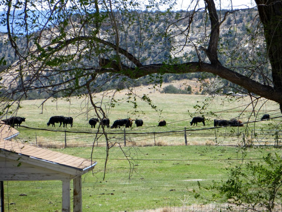 All of the burger meat is local, grazing right outside.
