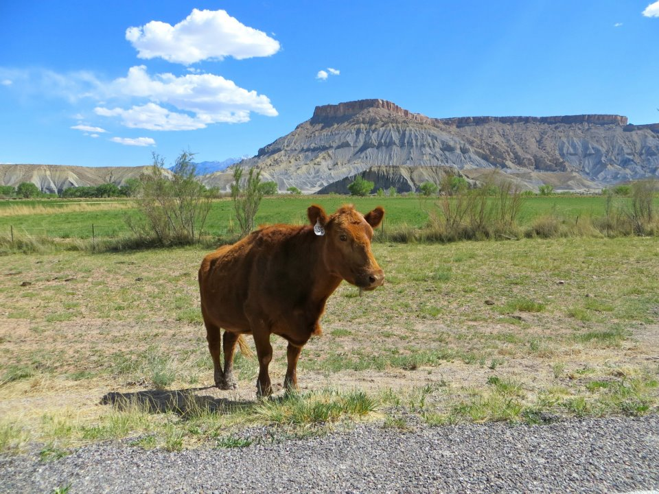 A cow, just on the side of the road.