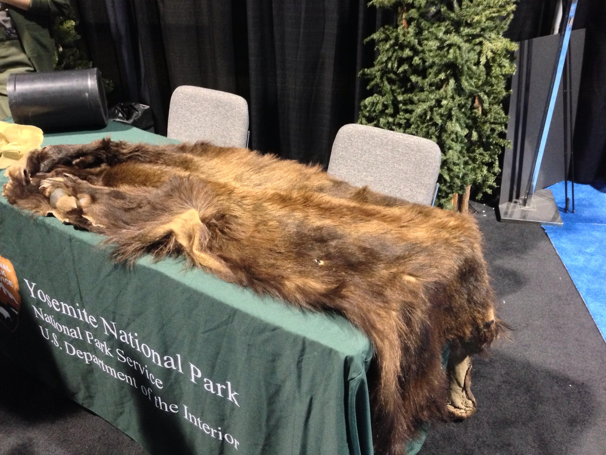 A real bear skin.