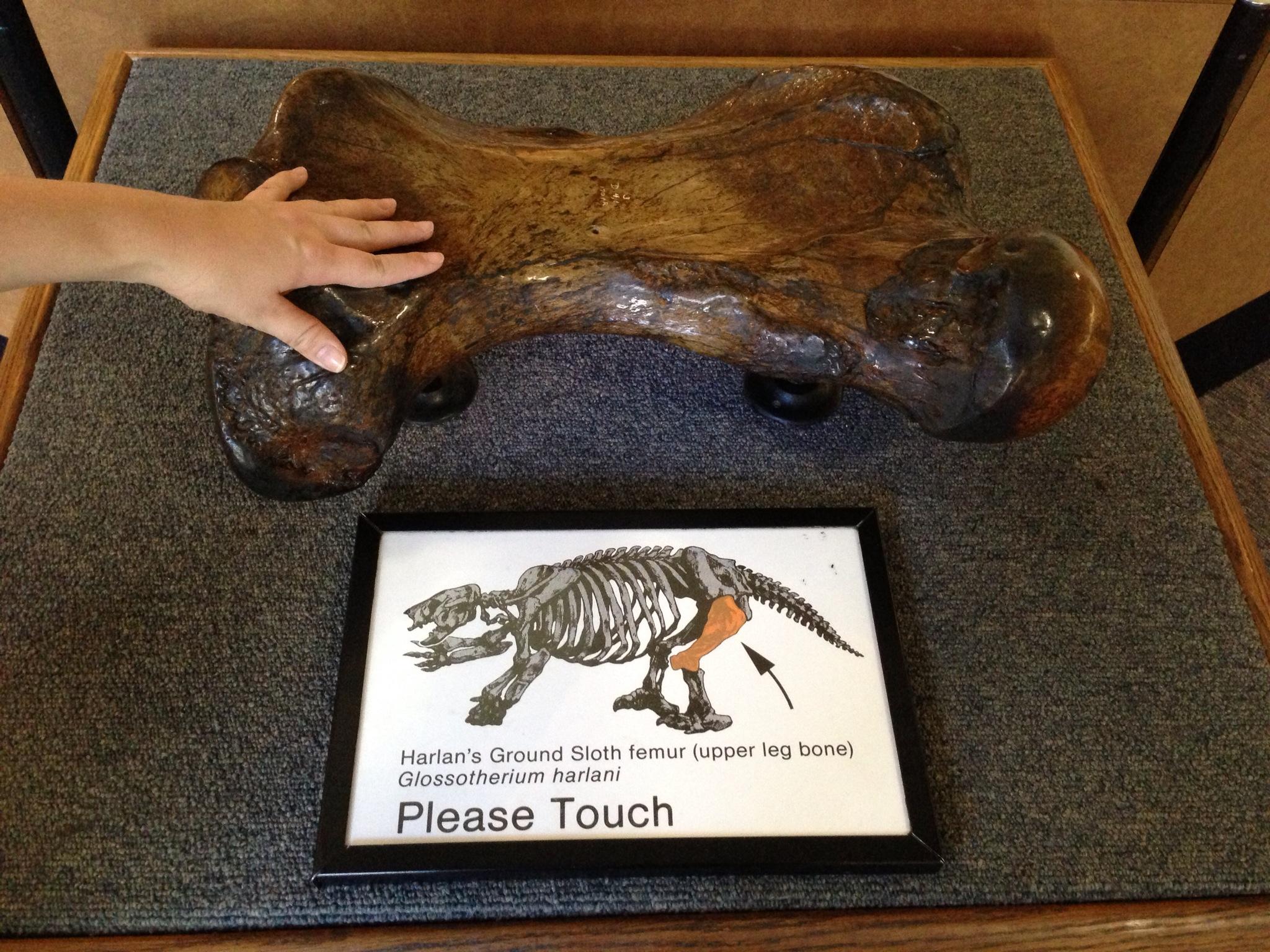 Sloth femur bone.