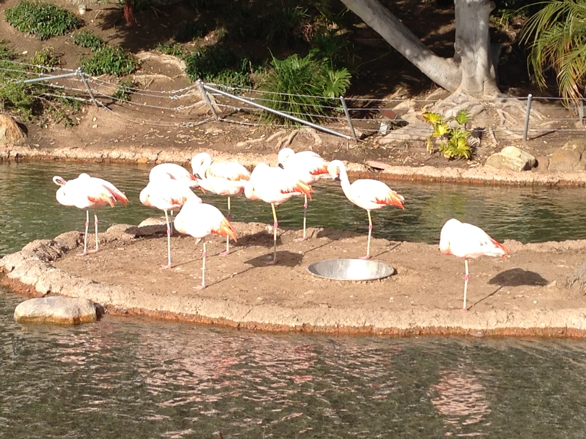 Flamingos are everywhere! We found this flock in from of the Marriott.