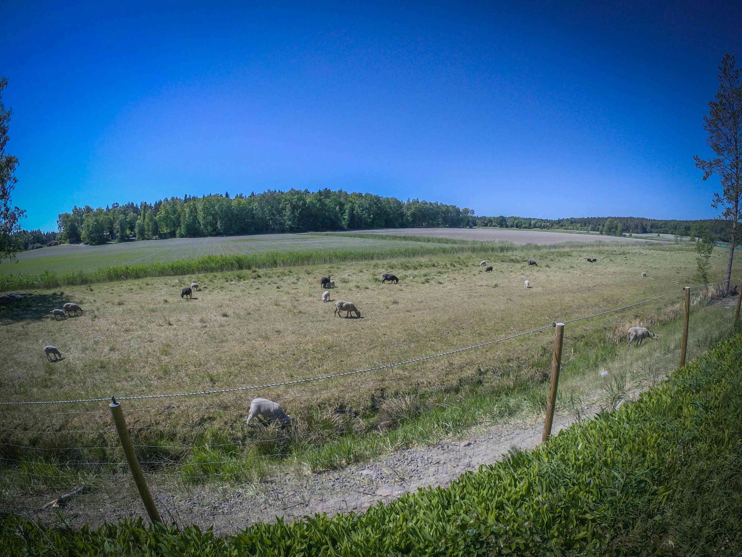 Sheep in Ohensaari
