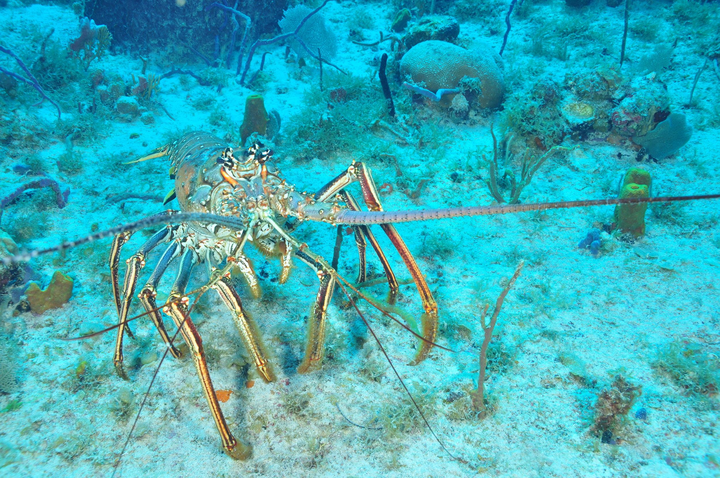 Monster Lobster walking along the ocean bottom