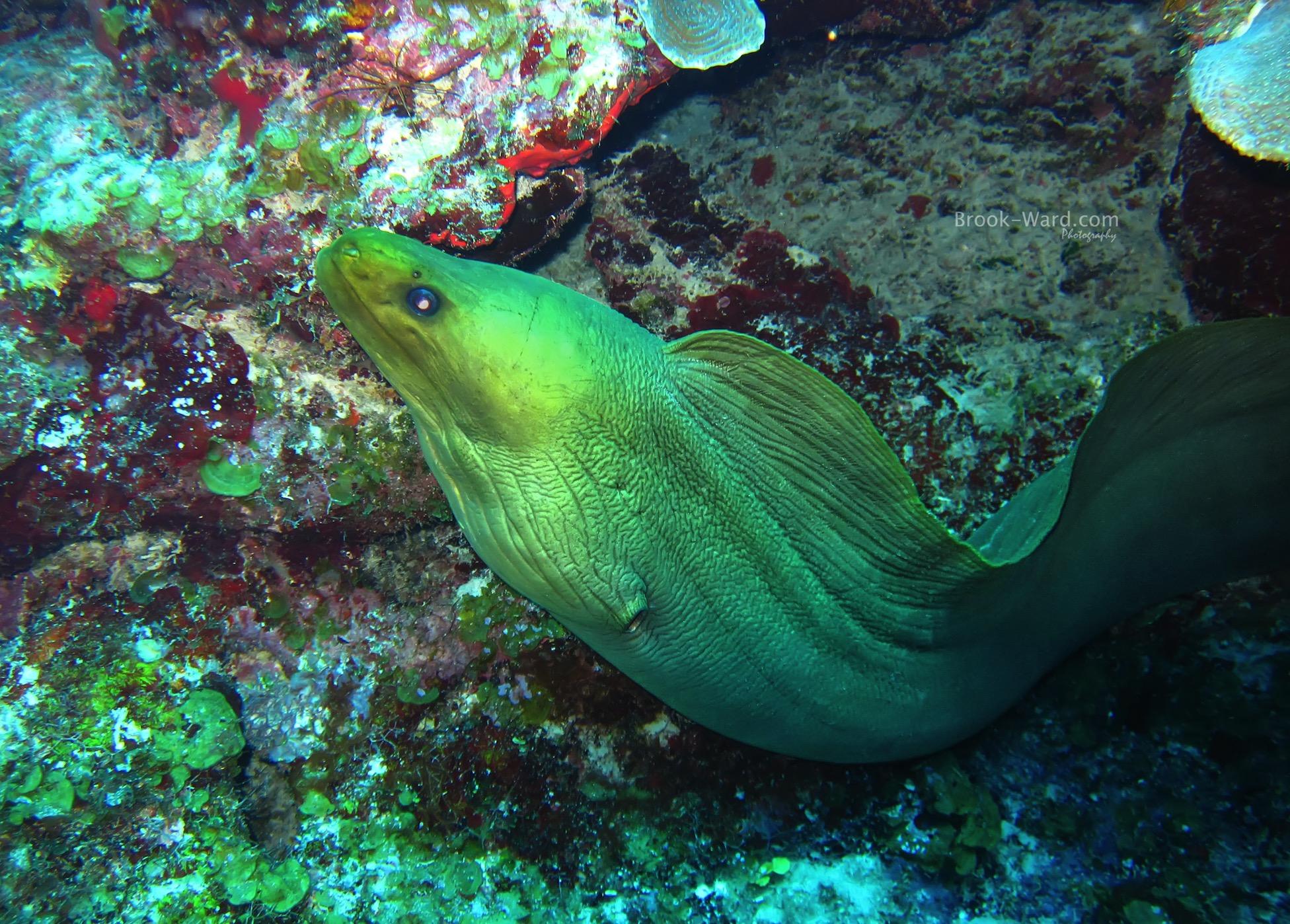 Moray Eel - Bahamas