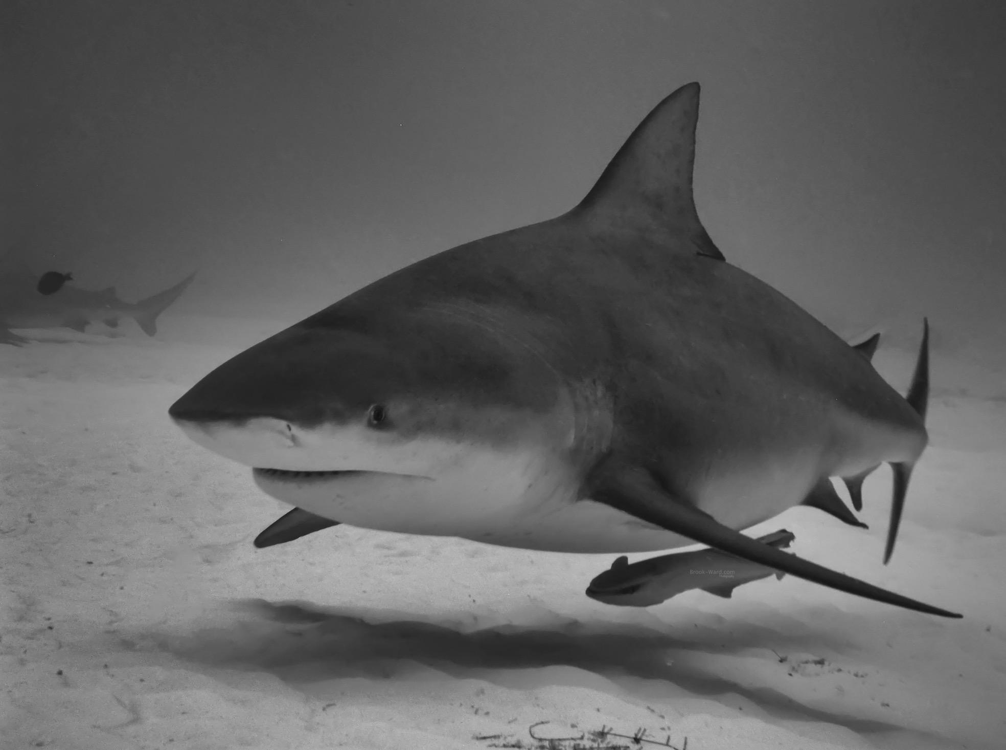 Bull Sharks - Mexico