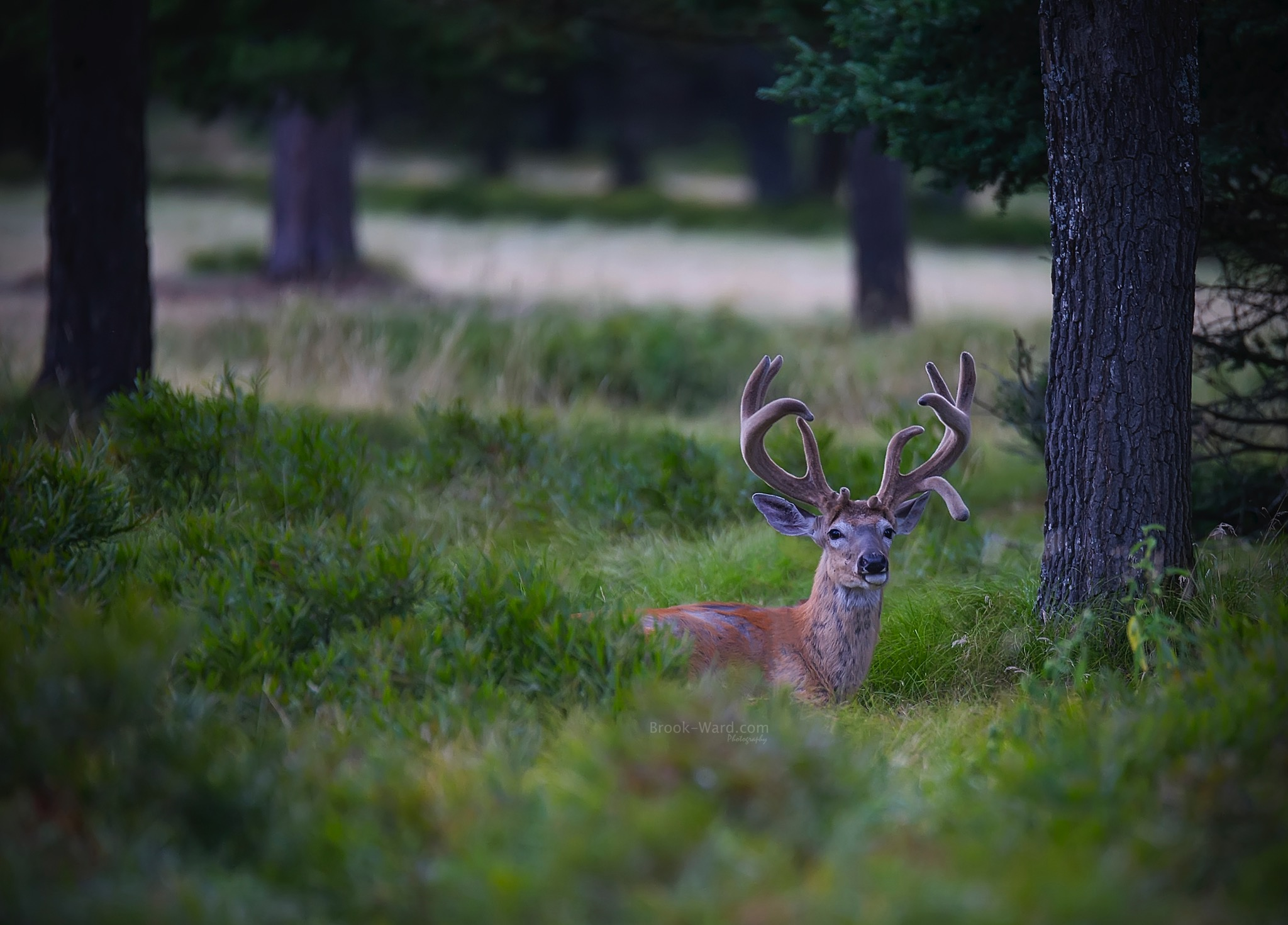 Northern Michigan - White Tail Deer