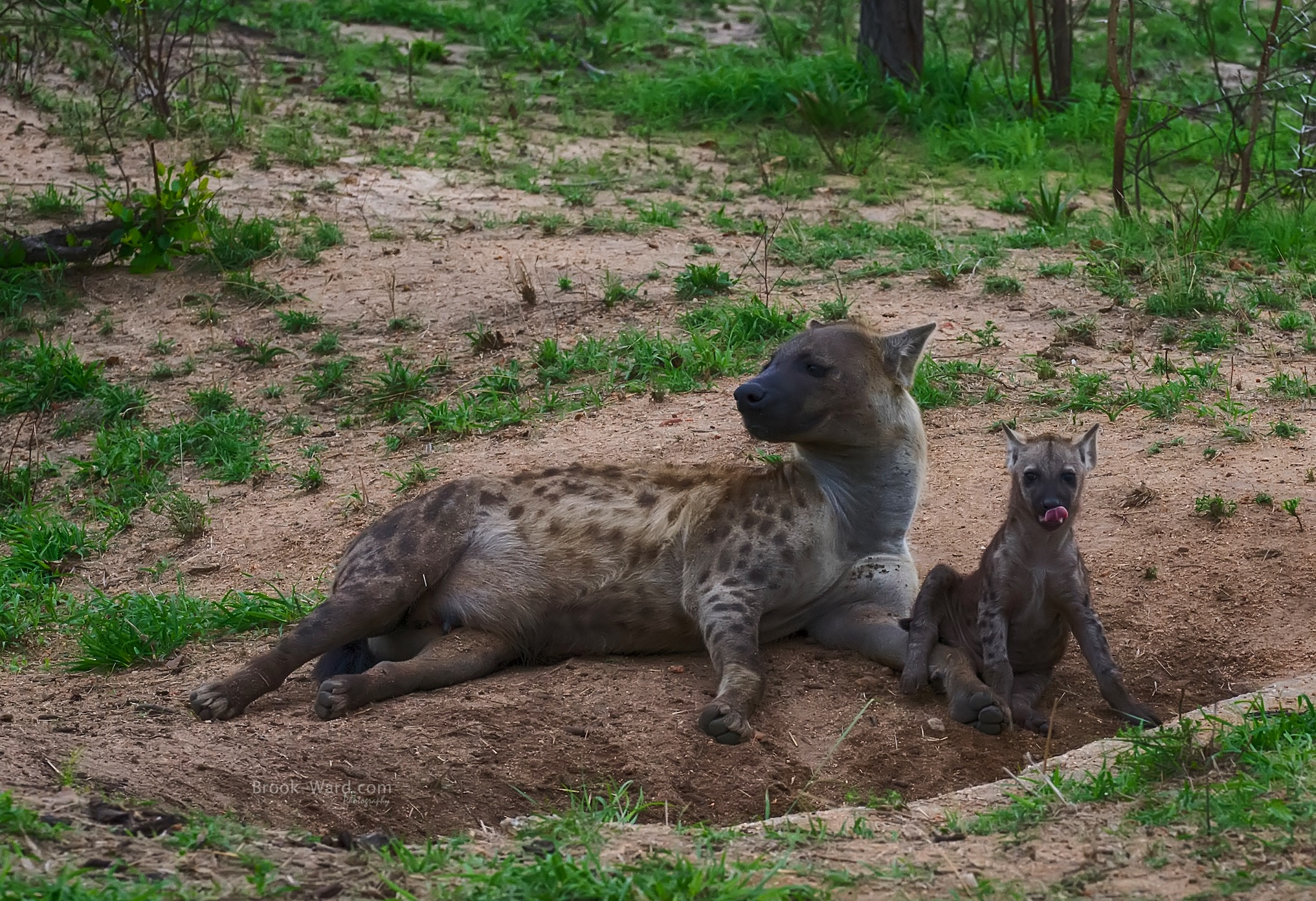 Hyena - Mother and Baby