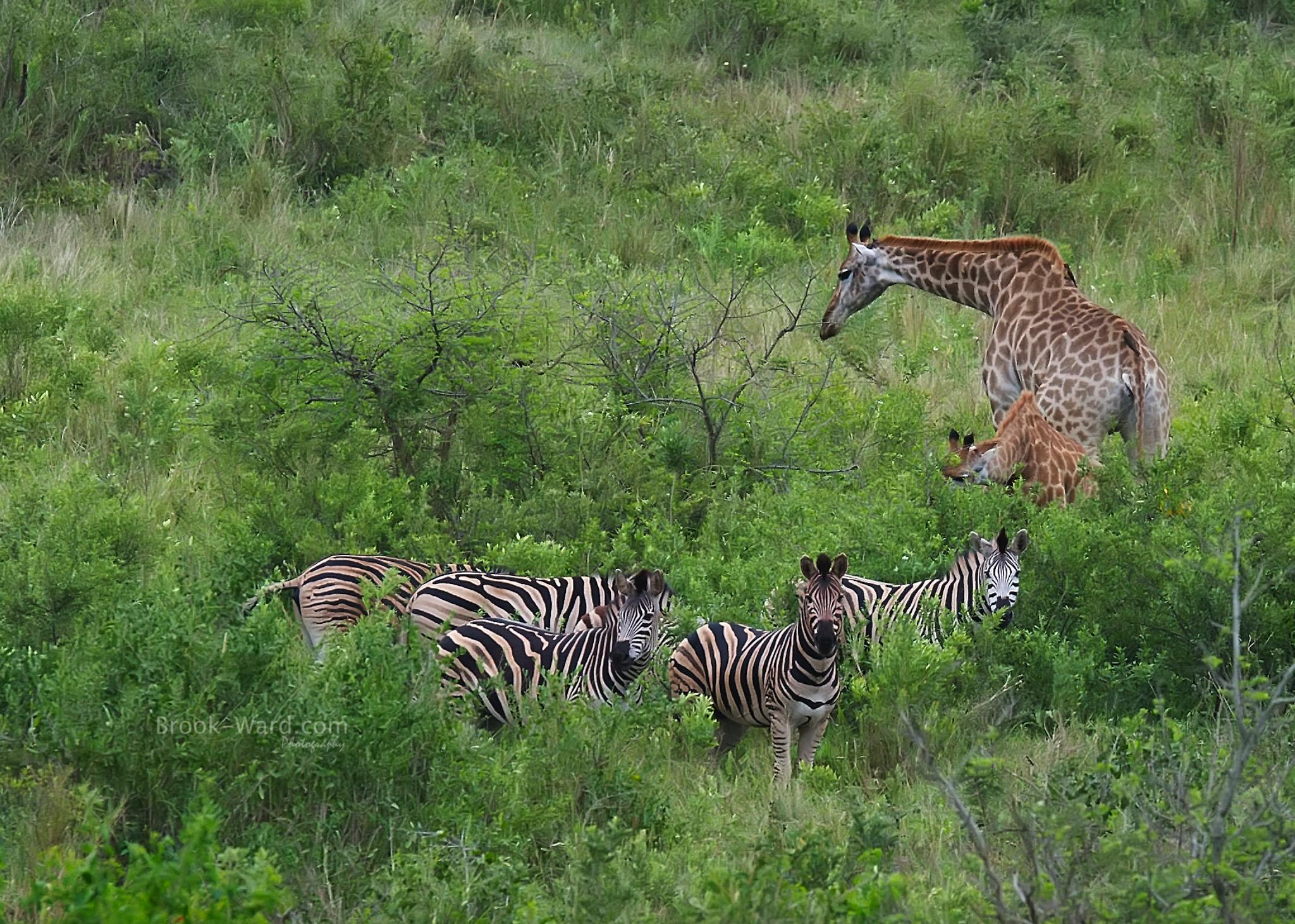 Just Friends - Kruger National Park