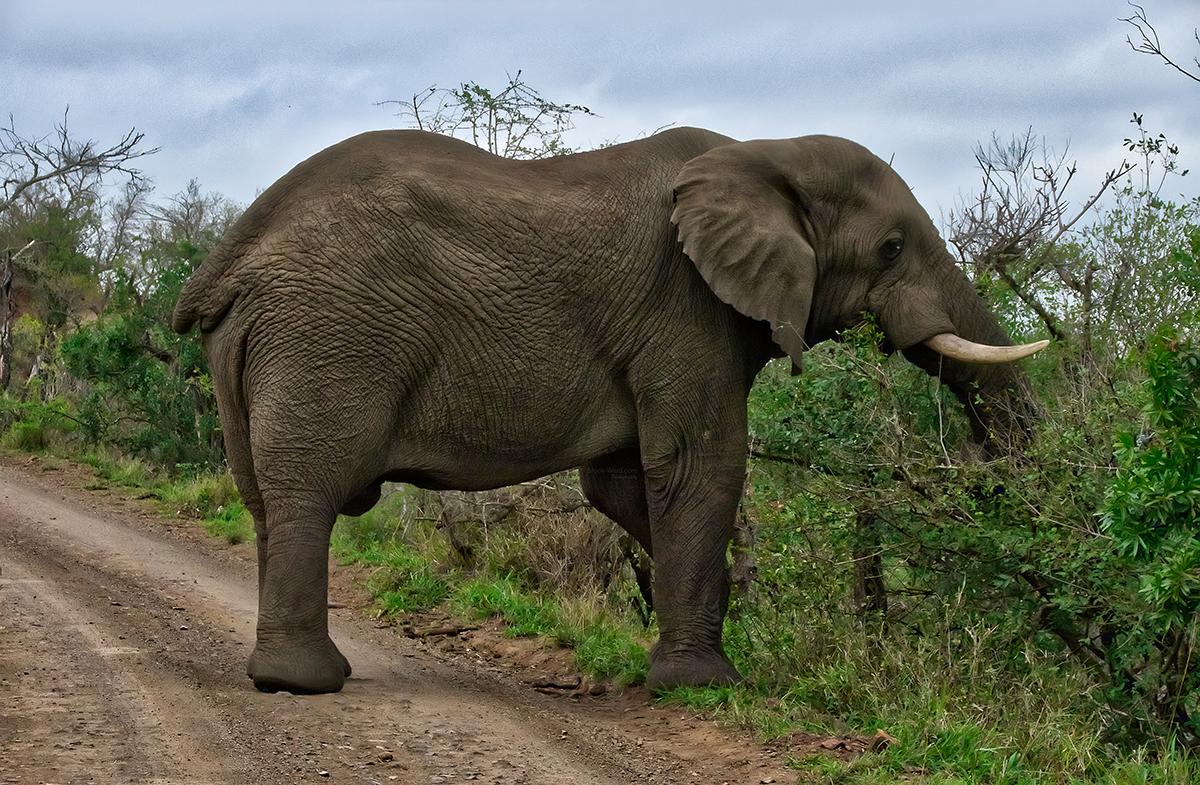 Big Guy - Kruger National Park