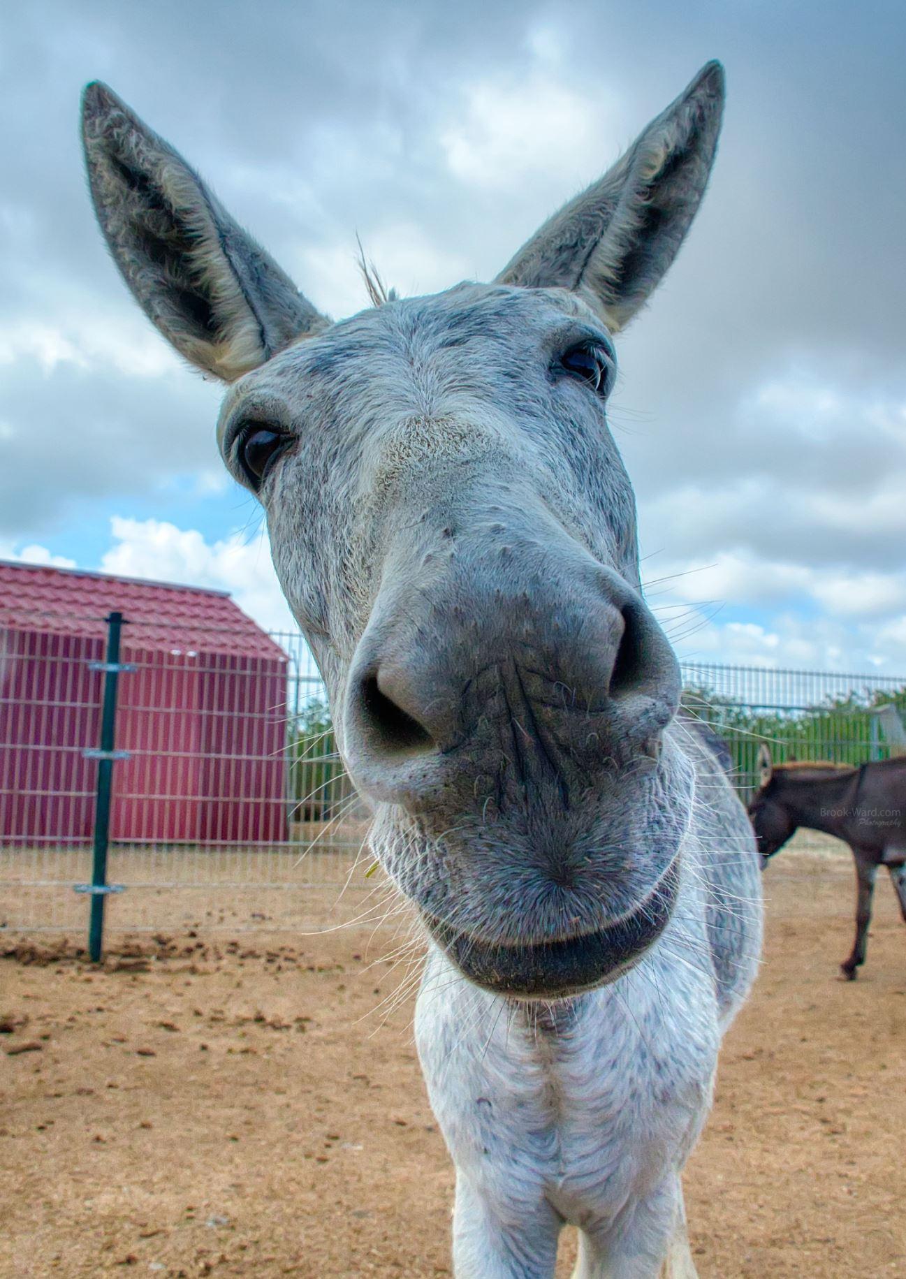 Bonaire Donkey