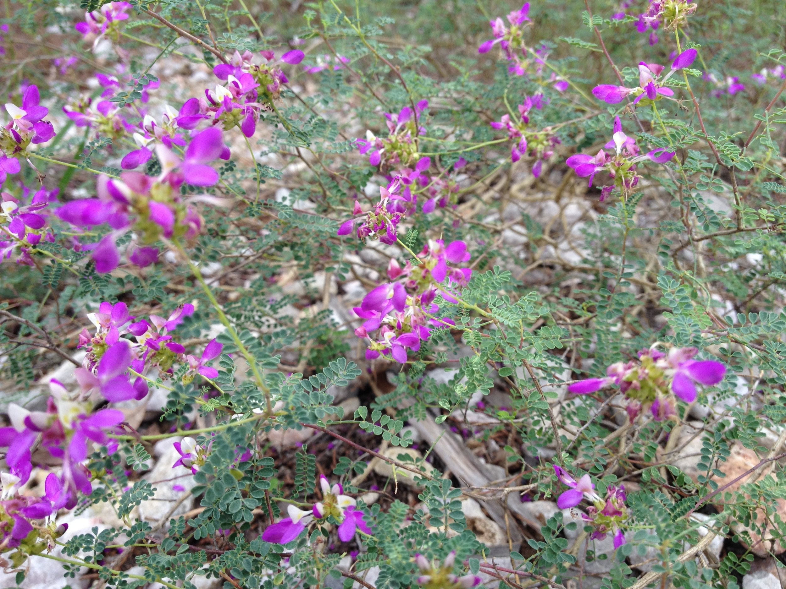 Dalea Frutescens- Black Dalea  Now is the time to plant wildflower seed for them to come up in the spring. Check out this great native plant for your yard.