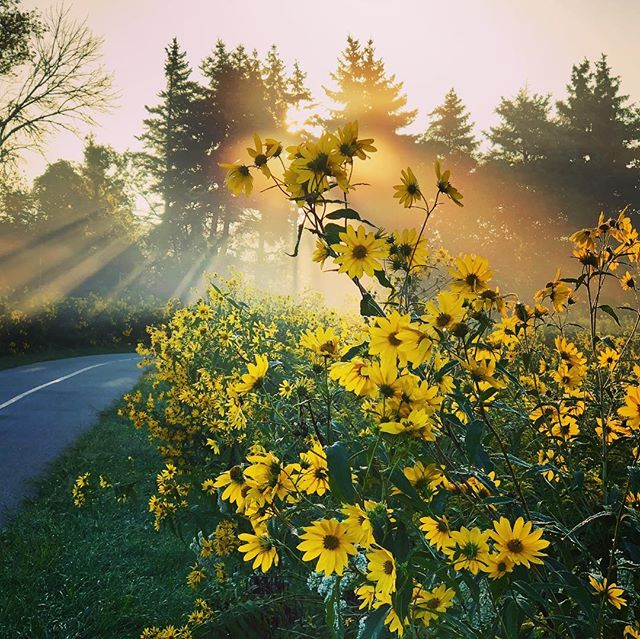 The most beautiful before-work bike ride of the year. #sunrise #sunrays #biketrail #flowers