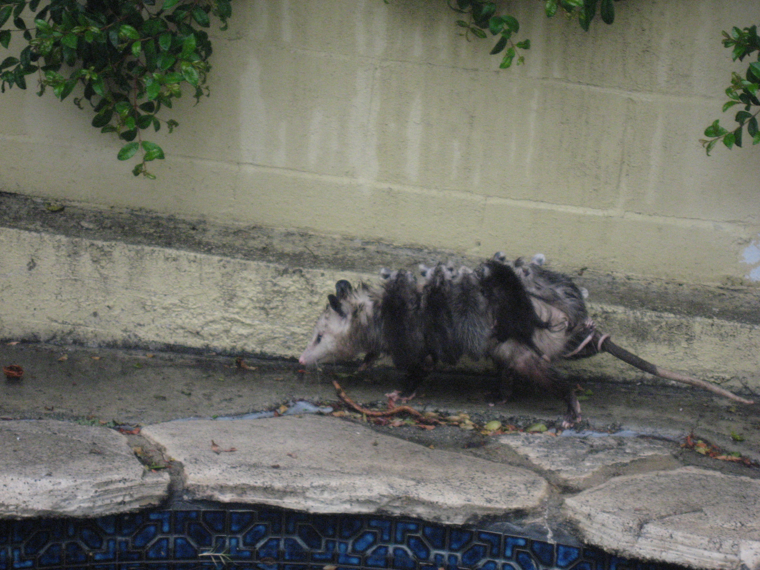 Spotted this morning in our backyard. A possum, about the size of a medium housecat, bearing on her back at least 9 babies, each the size of a large mouse. Something about the way the tail looks makes this animal slightly revolting to me. But the way she cared for her children, and the way she limped, and the way she was clearly looking for a shelter from the driving rain, and the fact that I was holding my own small child in my arms, made me feel emotional. This has been one of the side effects of fatherhood. I'm not as robotic as I one was.