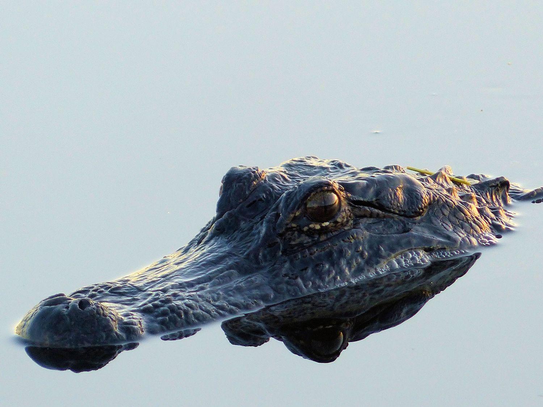 Awesome Alligator